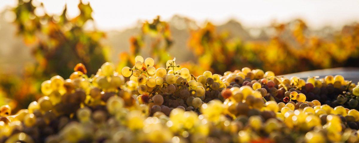 I vitigni autoctoni dell'Agro Pontino